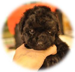 黒トイプードル赤ちゃん